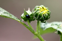 Texas Sunflower Bud
